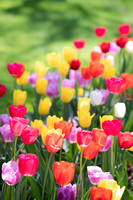 Tulips at Dow Gardens-Midland Michigan