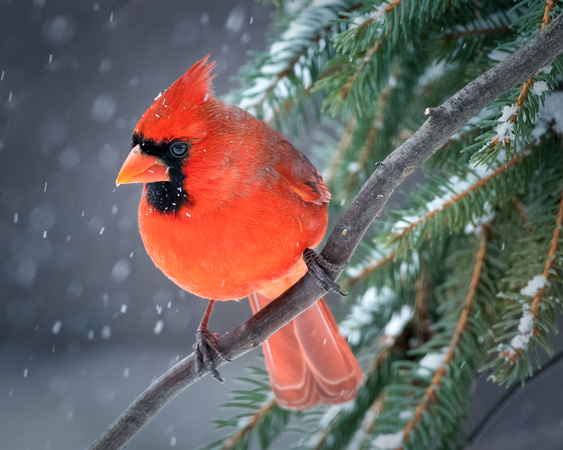 Cardinal in snowy pines