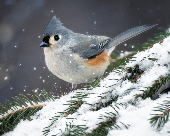 Tufted Titmouse on a snowy pine tree