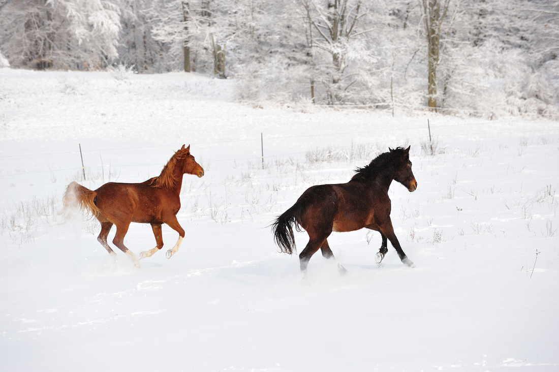 Horses running in the snow after a snow storm