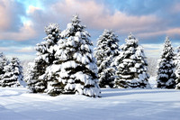 Snow covered Spruce Trees in rural lower Michigan