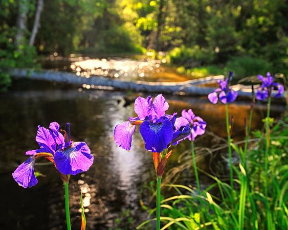 Michigan Nut Photography Springtime Flowers Wild Iris At